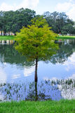 USF campus landscape: tree in water Royalty Free Stock Image