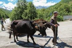 Usghuli/Georgia - 06172017: Manada del hombre de las vacas y del pastor que camina en el camino de la montaña del Cáucaso fotografía de archivo