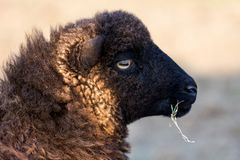 Ushant small sheep species Royalty Free Stock Photography