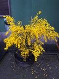 Ushuaia amarillo de la flor fotos de archivo libres de regalías