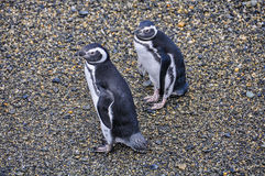 In Ushuaia, Argentina. Penguins in the Beagle Channe in Ushuaia, Argentina royalty free stock photo