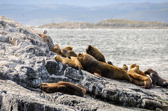 In Ushuaia, Argentina. Seals in the Beagle Channel in Ushuaia, Argentina stock images
