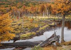 Ushuaia park in fall, beaver dam. Beaver dam in Tierra del Fuego National Park near Ushuaia, Argentina Stock Images