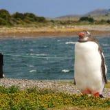 Ushuaia penguin στοκ εικόνες με δικαίωμα ελεύθερης χρήσης
