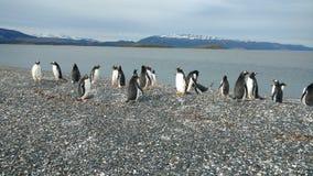 Ushuaia - pinguini Immagine Stock Libera da Diritti