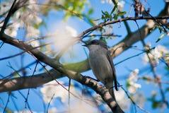 Usignolo in Cherry Blossoms fotografia stock