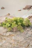 Usine à la plage de point de Forcados ; Costa de la Muerte ; La Galicie Photos stock