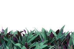 Usine avec les feuilles à deux tons d'isolement sur le fond blanc photo stock