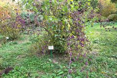 Usine beautyberry pourpre - Callicarpa americana - le parc dendrological de Macea - situé le comté d'Arad - en Roumanie Photographie stock