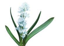 Usine bleue de fleur de libanotica Images libres de droits
