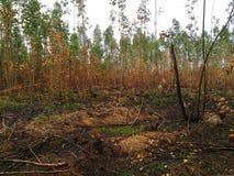 Usine brûlée d'eucalyptus après le feu photographie stock