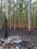 Usine brûlée d'eucalyptus après le feu photographie stock libre de droits