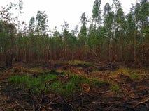 Usine brûlée d'eucalyptus après le feu images libres de droits