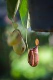 Usine carnivore de Nepenthes Photographie stock libre de droits