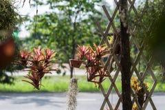 Usine carnivore de Nepenthes Image stock