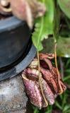 Usine carnivore de Nepenthes Image libre de droits