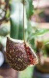 Usine carnivore de Nepenthes Photos stock