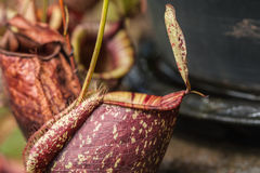 Usine carnivore de Nepenthes Image stock