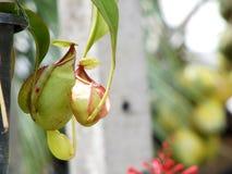Usine carnivore de Nepenthes Images libres de droits