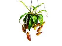 Usine carnivore de Nepenthes d'isolement sur le fond blanc Photographie stock libre de droits