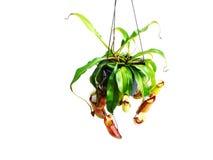 Usine carnivore de Nepenthes sur le fond blanc Photographie stock libre de droits