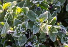 Usine congelée couverte de gelée ou de givre Images libres de droits
