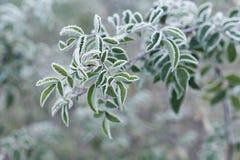 Usine couverte de gel, de gelée ou de givre dans le matin d'hiver photographie stock