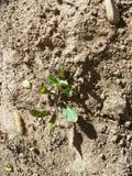 Usine croissante dans mon jardin Photo libre de droits