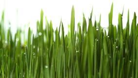 Usine croissante 4k d'herbe verte banque de vidéos