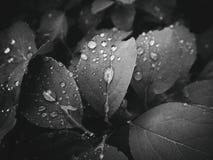 usine d'été avec des gouttes de pluie sur les feuilles monochromes Image libre de droits
