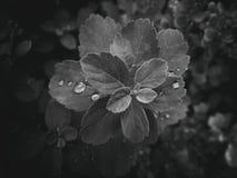 usine d'été avec des gouttes de pluie sur les feuilles monochromes Photo stock