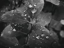 usine d'été avec des gouttes de pluie sur les feuilles monochromes Photos libres de droits