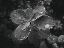 usine d'été avec des gouttes de pluie sur les feuilles monochromes Photo libre de droits