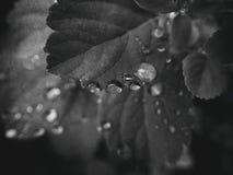 usine d'été avec des gouttes de pluie sur les feuilles monochromes Images libres de droits