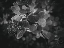 usine d'été avec des gouttes de pluie sur les feuilles monochromes Photographie stock libre de droits