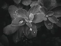 usine d'été avec des gouttes de pluie sur les feuilles monochromes Images stock