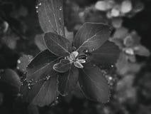 usine d'été avec des gouttes de pluie sur les feuilles monochromes Photographie stock