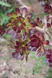 Usine d'Aeonium (lat Aeonium) photo stock