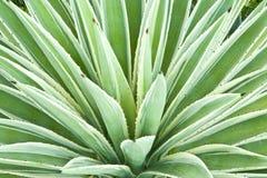 Usine d'agave image stock