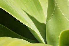 usine d'agave photo libre de droits