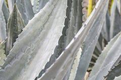 usine d'agave images libres de droits