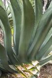 usine d'agave photo stock