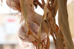 Usine d'ail fraîche photographie stock libre de droits