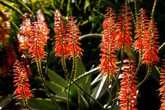 Usine d'aloès - Erice le rouge - Asphodelaceae - chefs de fleur Images stock