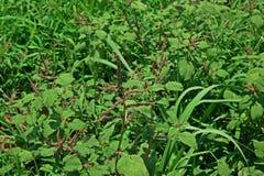 Usine d'amaranthe, mauvaise herbe dans la culture de montagne Images libres de droits