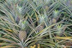 Usine d'ananas, élevage de fruit tropical dans une ferme Images libres de droits