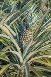 Usine d'ananas, élevage de fruit tropical dans une ferme Images stock