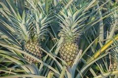 Usine d'ananas, élevage de fruit tropical dans une ferme Image libre de droits