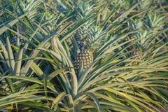 Usine d'ananas, élevage de fruit tropical dans une ferme Photographie stock libre de droits