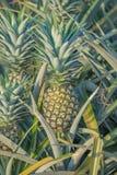 Usine d'ananas, élevage de fruit tropical dans une ferme Photographie stock